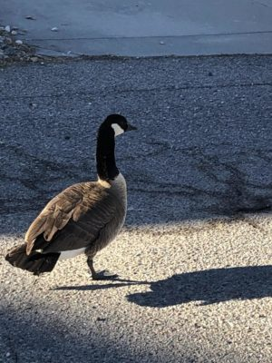 A Canadian goose, who seemed pretty real.