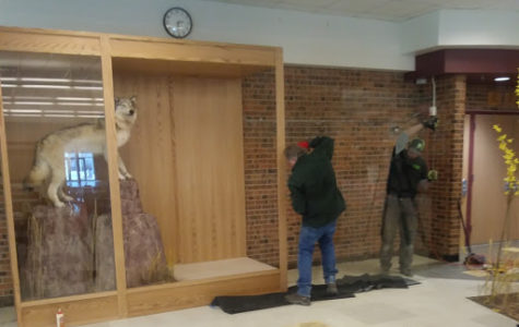 On Saturday morning, the new pack members from the Wildlife Creations Taxidermy, are added to the display.