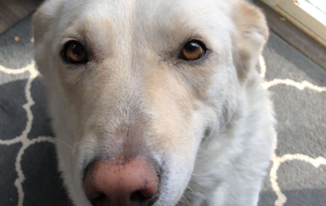 Sophie, a white lab, poses for a picture after she finishes her breakfast.