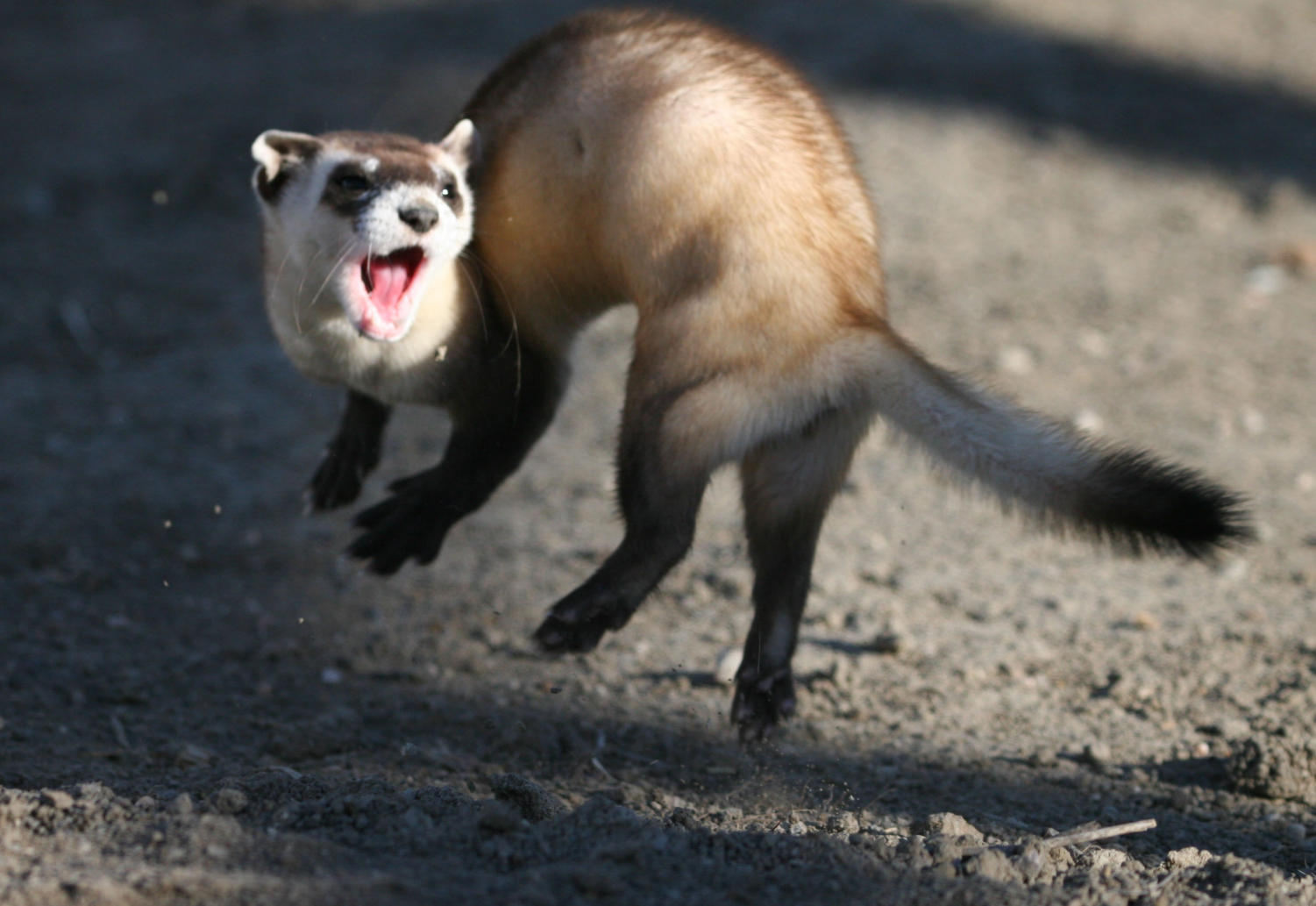 The+black+footed+ferret+is+native+to+central+North+America%2C+including+Colorado.+Declining+prairie+dog+populations+led+to+a+decline+in+their+population%2C+at+one+point+they+were+considered+extinct+in+the+wild+but+with+lots+of+conservation+efforts+they+were+reintroduced+and+now+there+are+roughly+1000+in+the+wild.