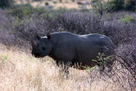 The+population+of+black+rhino+numbers+dropped+by+98%25+between+1960+and+1995.+Conservation+efforts+have+helped+the+population+but+they+are+still+considered+critically+endangered+because+of+poaching+and+black+market+trading+of+rhino+horns.