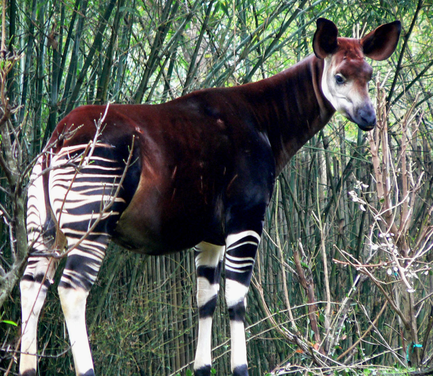 The+okapi+is+closely+related+to+the+giraffe.+Their+habitats+are+declining+from+logging+and+human+settlement.+The+Okapi+is+already+extinct+in+Uganda+and+conflicts+in+other+areas+they+live+make+it+had+for+conservation+efforts+to+be+effective.