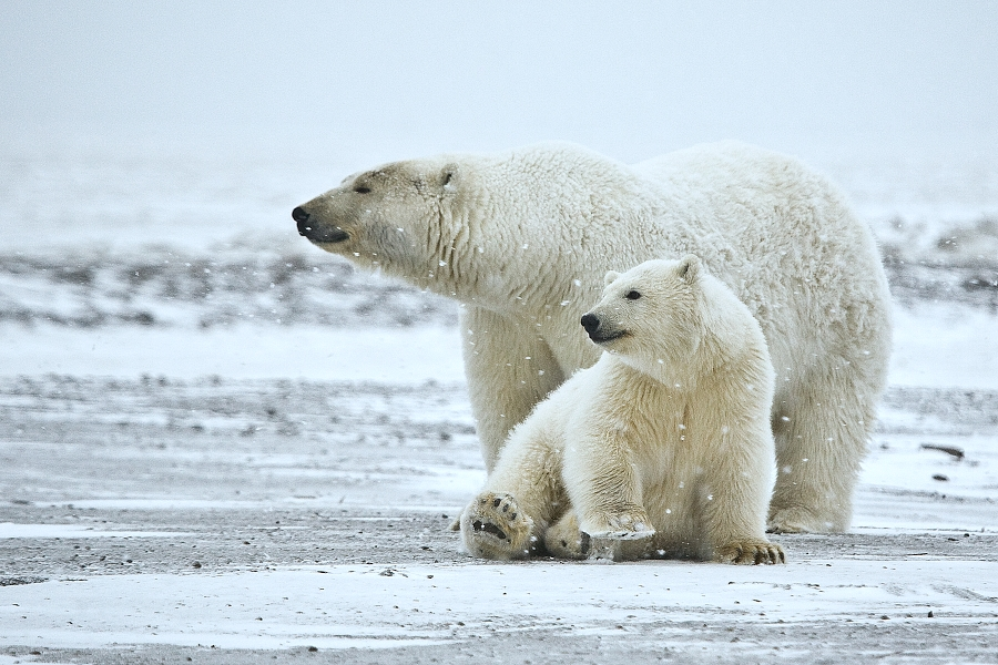 Polar+Bears+are+vulnerable+because+of+the+dramatic+change+in+their+habitat.+With+the+dramatic+increase+in+temperature+and+the+ice+caps+melting%2C+they+are+seeing+a+huge+decrease+in+their+habitat.%0A