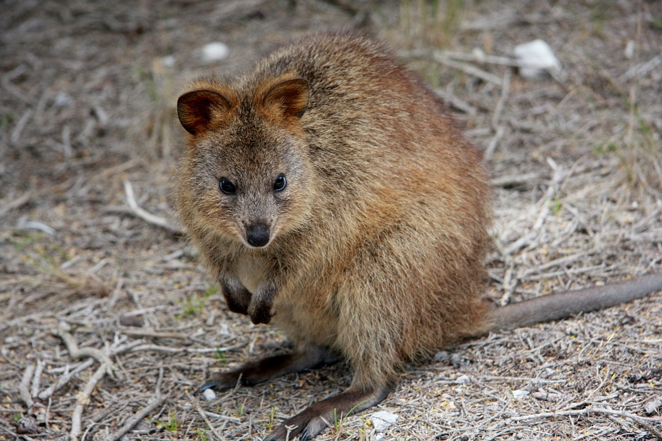 The+adorable+quokkas+are+native+to+islands+off+the+coast+of+Australia.+They+are+very+friendly+marsupials+and+face+extinction+because+of+logging+and+agricultural+development.%0A
