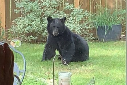 Rocky the Bear is Safe After Being Captured by Wildlife Officials