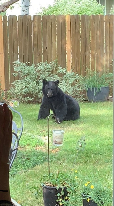 Rocky the bear as he woke up from his nap in a backyard. He was woken up by CDW officials climbing the fence seen behind him.