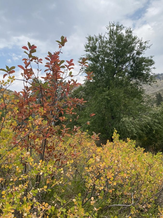 This shows the changing of color in Narrowleaf cottonwood trees.